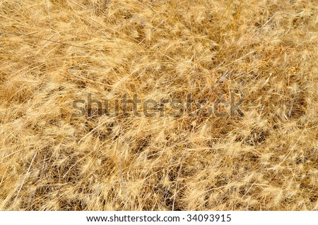 Closeup of wild dried grasses and seeds after a hot dry summer
