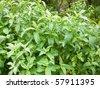 Closeup of wild fresh peppermint (Mentha piperita) plant. - stock photo