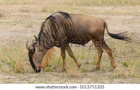 "Closeup of Wildebeest (scientific name: Connochaetes taurinus or ""Nyumbu"" in Swaheli) image taken on Safari located in the Serengeti/Tarangire, Lake Manyara, Ngorogoro National park, Tanzania"