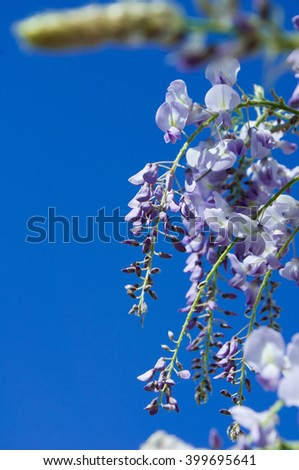 Closeup of wisteria sinensis Prolific lilac blue flower