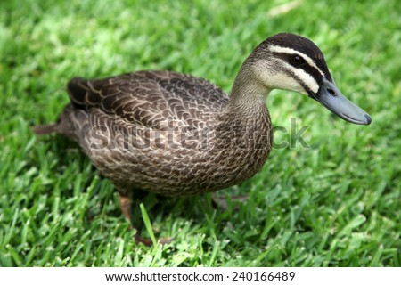 Closeup of Wood duck on green grass - stock photo