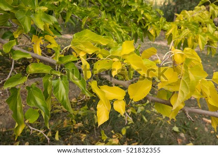 Closeup of yellow and green tree leafs