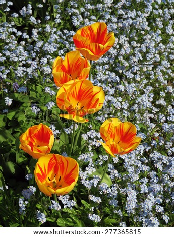 Closeup of yellow and orange tulips with forget-me-not flowers - stock photo