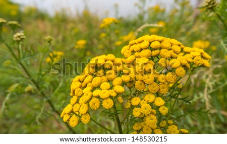 Closeup of yellow blooming Tansy or Tanacetum vulgare in the field. - stock photo