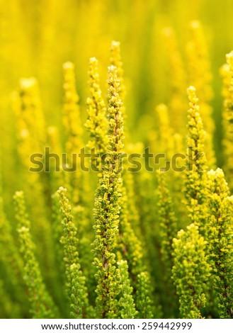 Closeup of yellow calluna vulgaris vertical - stock photo