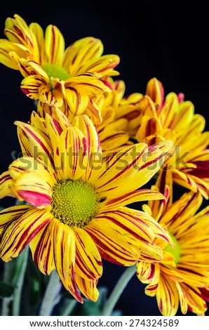 Closeup of yellow chrysanthemums for background. - stock photo