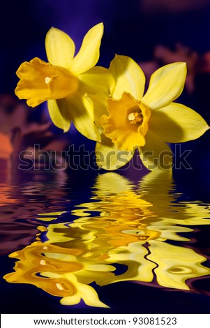 Closeup of yellow daffodil or narcissus flowers touching blue water - stock photo