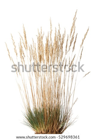 Closeup of yellow dried grass with panicle bunch clustered in tussock in autumn, isolated on white