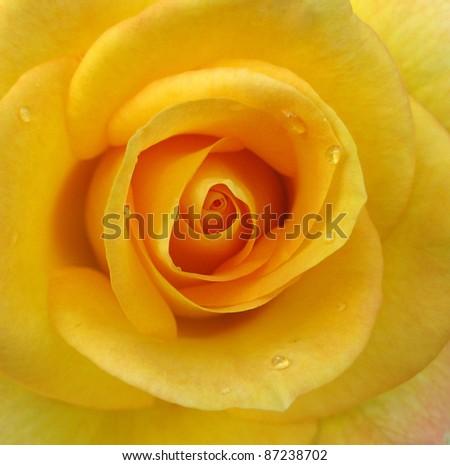 closeup of yellow rose - stock photo