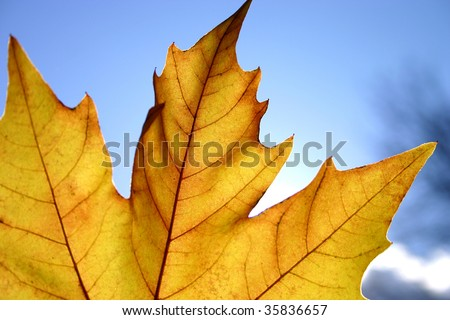 Closeup of yellow sharped autumn leaf on blue sky background. - stock photo