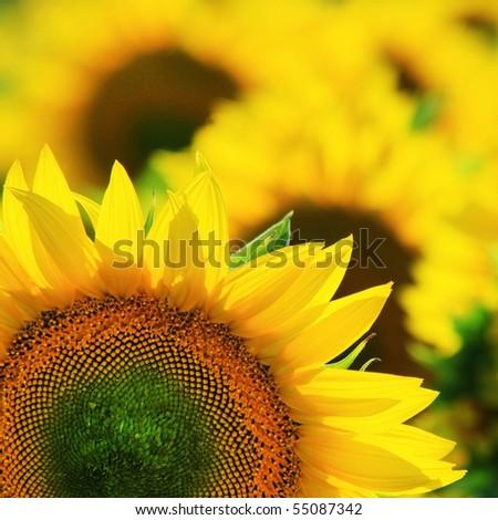 Closeup of yellow sunflower in corner - stock photo