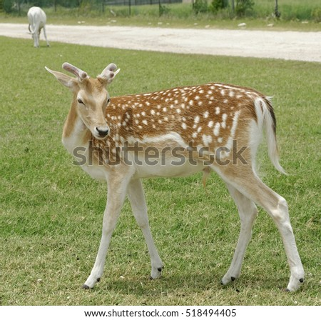 Closeup of young Fallow Deer buck standing in grassland