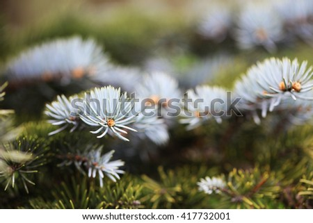 Closeup of young fir tree branches - stock photo
