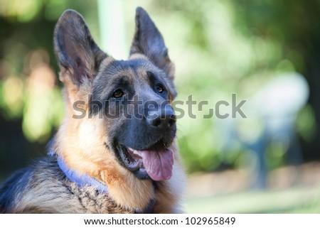 Closeup of young German Shepherd - stock photo