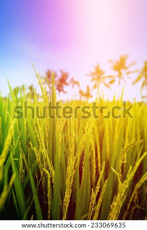 Closeup of young paddy on stalks in lush fields of Bali at sunrise - stock photo