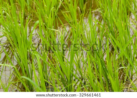 Closeup of Young Rice Plants in a Paddyfield - stock photo
