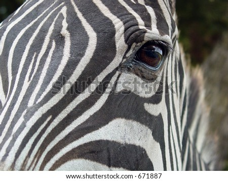 Closeup of zebra eye - stock photo