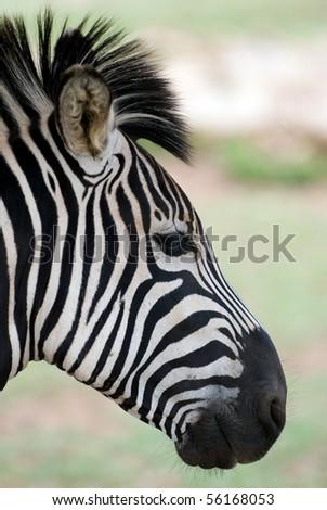 Closeup of zebra head with shallow depth of field - stock photo