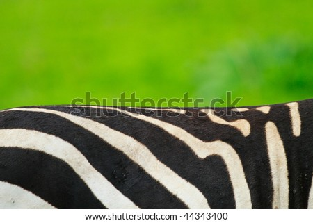 Closeup of zebra skin pattern over green background