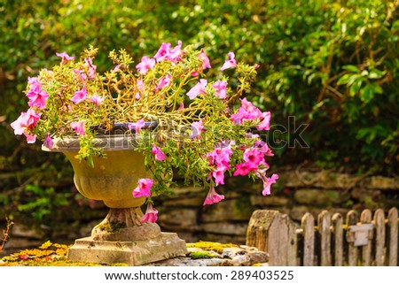 Closeup old stone pot with pink flowers outdoor