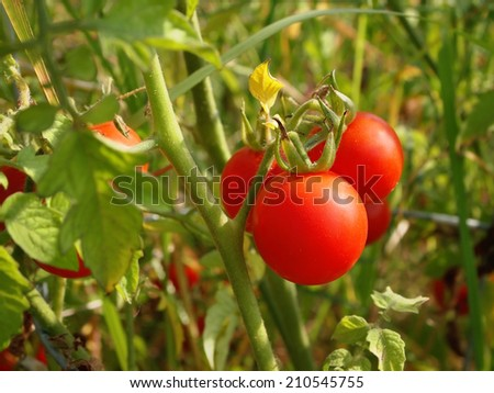 Closeup on a beautiful grouping of vibrant red cherry tomatoes on a lush green plant in the garden. - stock photo