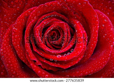 Closeup on a beautiful single red rose with water drops - stock photo