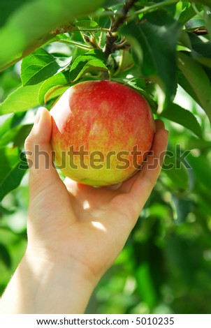 Closeup on a hand picking a red apple from an apple tree