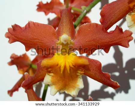Closeup on a red orchid with an orange center petal - stock photo