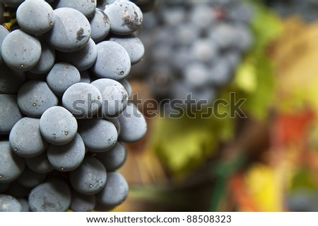 Closeup on a ripe bunch of Sangiovese grapes in a vineyard in the Chianti Classico region of Tuscany, Italy. Selective focus. - stock photo