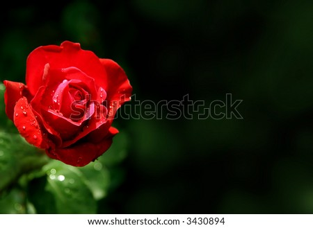Closeup on a shining red rose on dark background - stock photo
