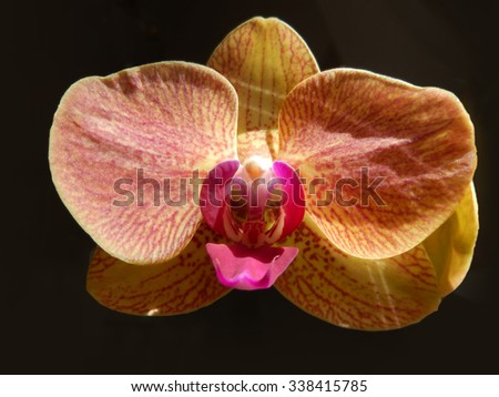 Closeup on an orange orchid with red stripes and center petal - stock photo