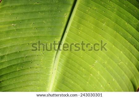 Closeup on banana palm leaf - stock photo