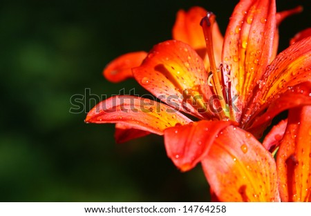 closeup on beautiful blooming orange flower petals with dew drops, shallow DOF - stock photo