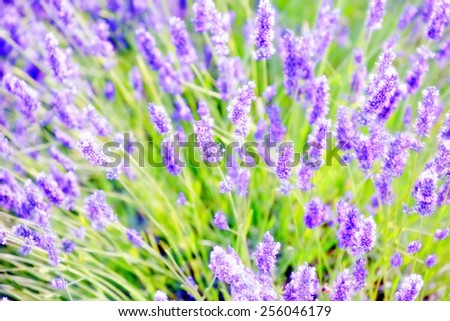 Closeup on beautiful gentle lavender flower on blurry purple background, soft focus, violet wildflower, summer time nature.  France, Provence. Small depth of field - stock photo