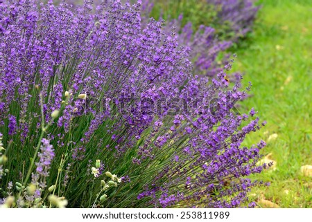 Closeup on beautiful gentle lavender flower, violet wildflower, summer time nature. France, Provence - stock photo