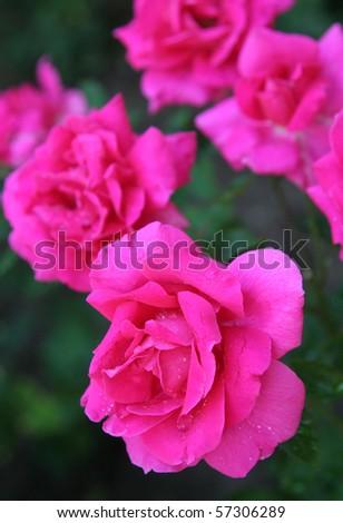 closeup on Bulgarian roses with raindrops - stock photo