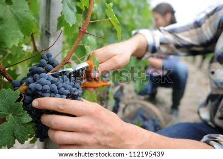 Closeup on bunch of grapes being picked from row - stock photo