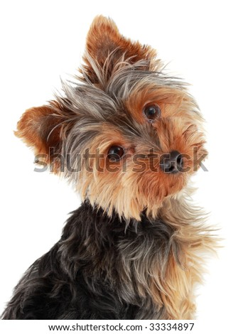 closeup on cute yorkshire terrier puppy, isolated on white