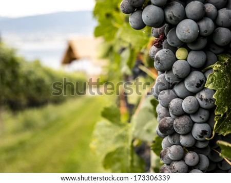 Closeup on Fresh Grapes on the Vine - stock photo