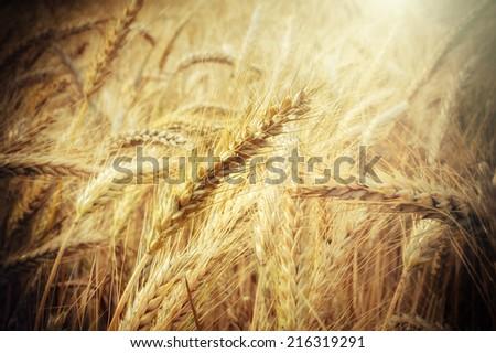 Closeup on golden wheat field  - stock photo