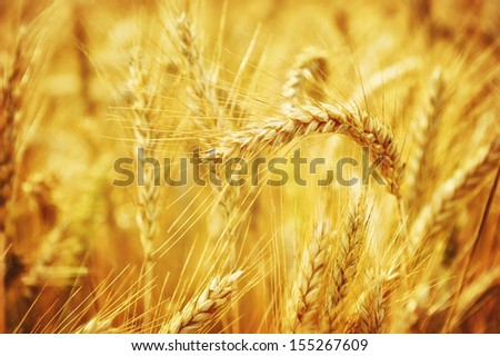 Closeup on golden wheat field at sunny summer day - stock photo