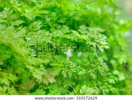 closeup on green foliage of  chervil - stock photo