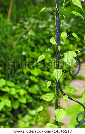 Closeup on green yam vine climbing on wrought iron arbor - stock photo
