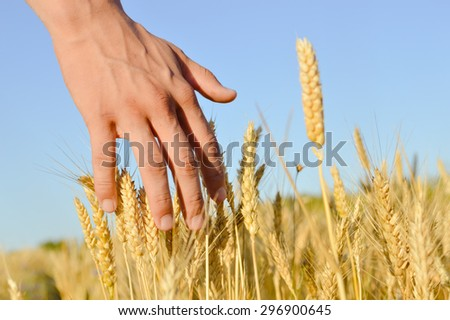 Closeup on hand in wheat field on summer day blue sky outdoors background - stock photo