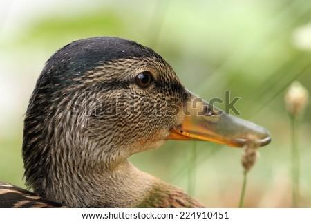 closeup on head of a female mallard duck ( Anas platyrhynchos ), portrait - stock photo