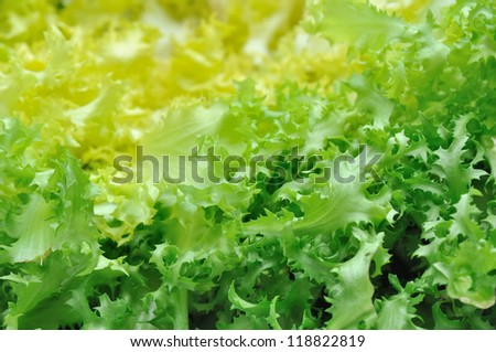 closeup on leaves of green salad chicory