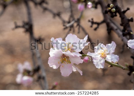 Closeup on light pink almond flower covered with raindrops. Almond Gardens near Tabor Mountain, Israel. - stock photo