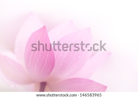 Closeup on lotus petal,Shallow Dof. - stock photo