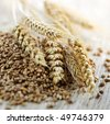 Closeup on pile of organic whole grain wheat kernels and ears - stock photo
