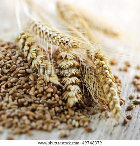 Closeup on pile of organic whole grain wheat kernels and ears - stock photo